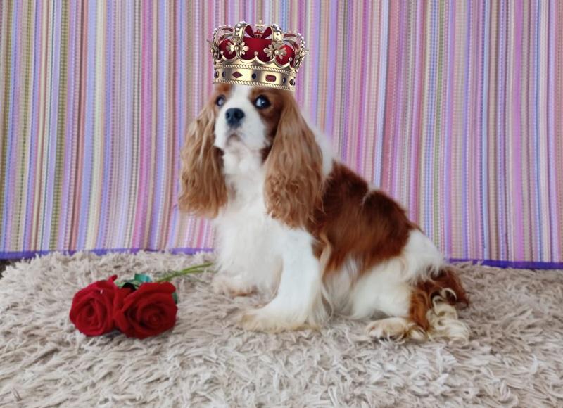 Cavalier King Charles Spaniel - O queridinho da realeza