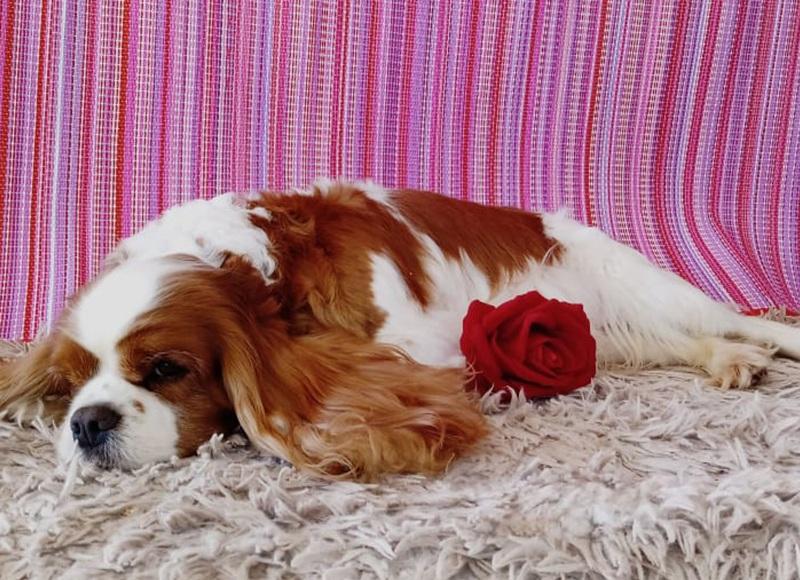 Cavalier King Charles Spaniel - Cuidado com o peso do cão