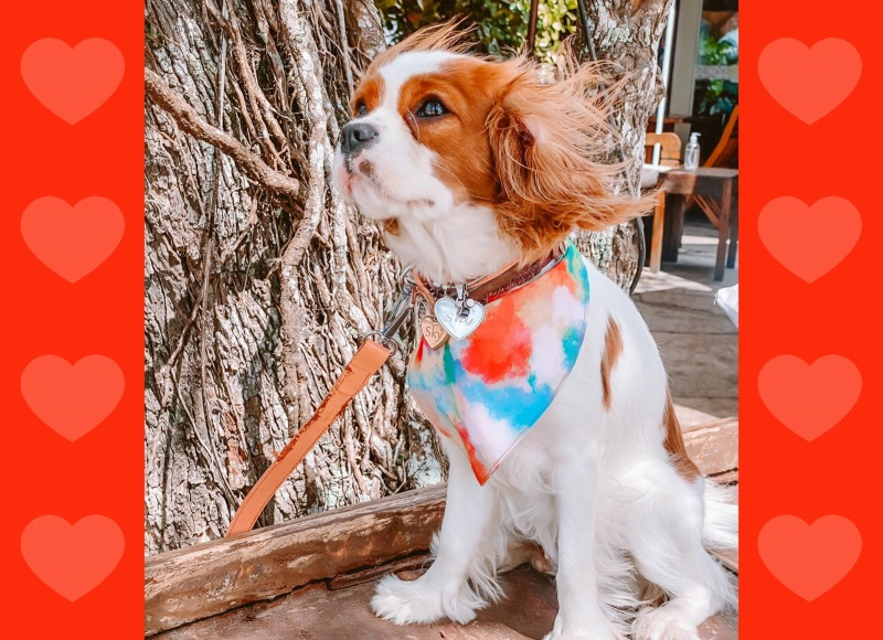Cavalier - um cãozinho perfeito para o seu filho