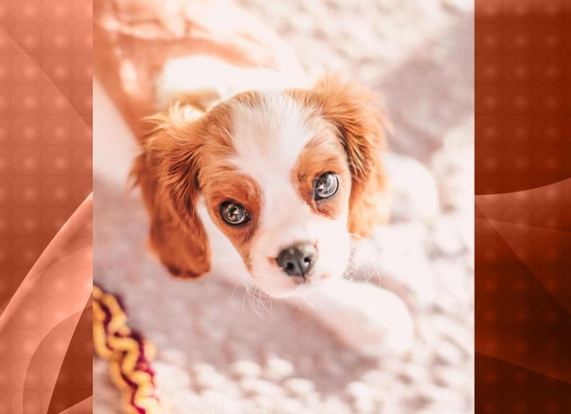 Cavalier King Charles Spaniel - um cão ótimo de ser adestrado