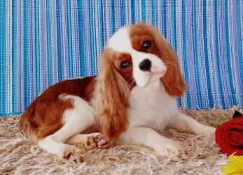 Cavalier King Charles Spaniel - Um cão inteligente
