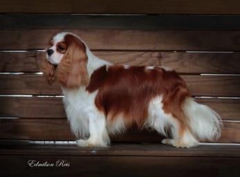 Cuidados com a pelagem do Cavalier