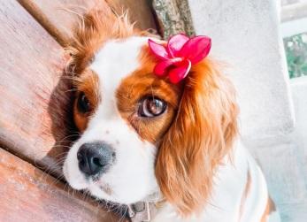 Cavalier King Charles Spaniel um cão de companhia